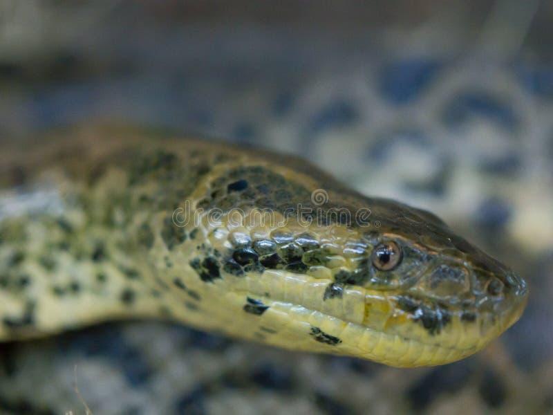 蟒蛇水蟒蛇的头,is is的关闭在南美洲找到的一个无毒蟒蛇种类 库存图片
