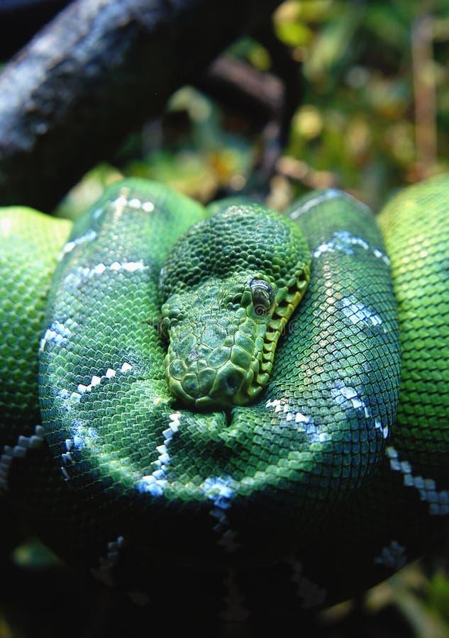 蟒蛇绿色结构树 免版税库存照片