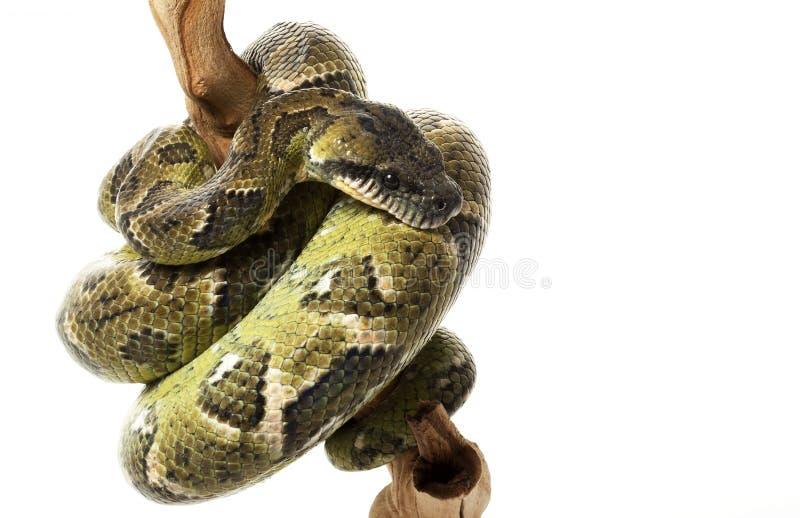 蟒蛇马达加斯加结构树 免版税图库摄影