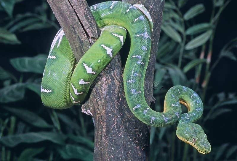 蟒蛇鲜绿色蛇结构树 免版税库存图片