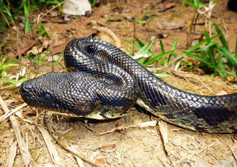 蟒蛇 免版税库存图片
