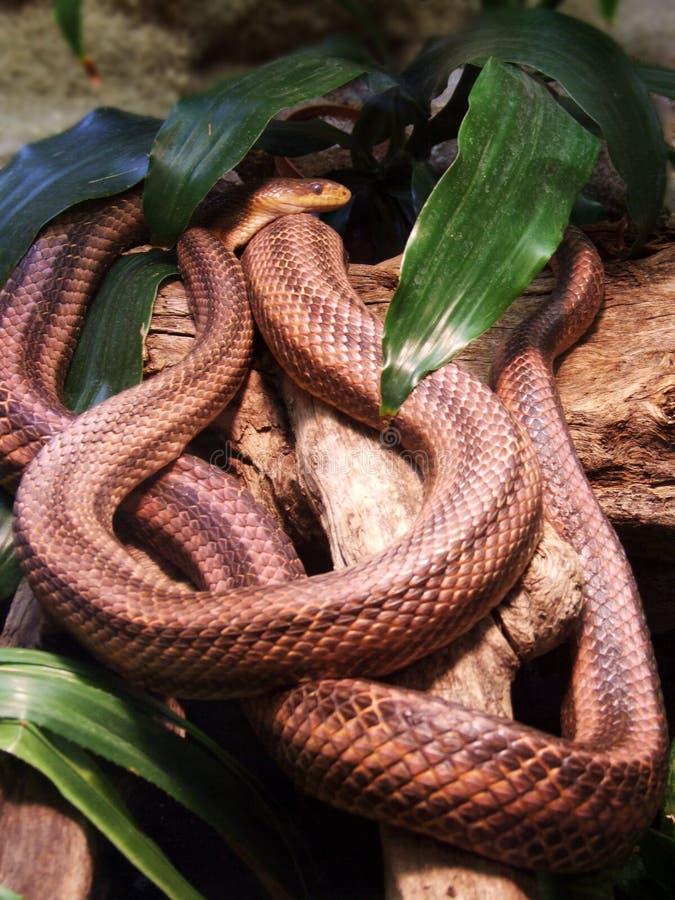 蟒蛇 免版税库存照片