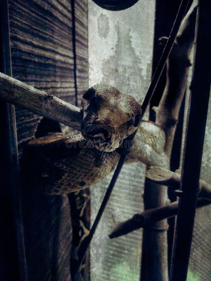 蟒蛇imperator缩窄器的关闭在笼子 图库摄影