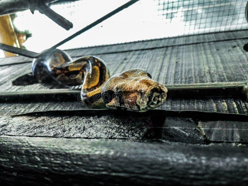 蟒蛇imperator缩窄器的关闭在笼子 库存照片