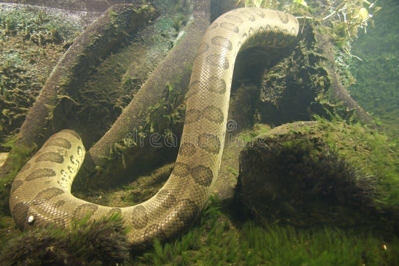 水蟒水蟒murinus 图库摄影