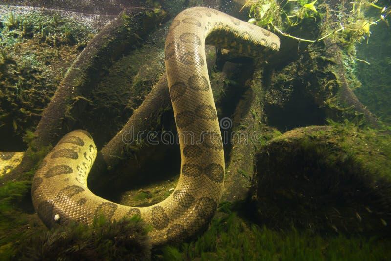 水蟒水蟒murinus 库存图片