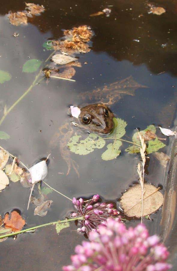 蟾蜍在有海藻的池塘 免版税库存照片