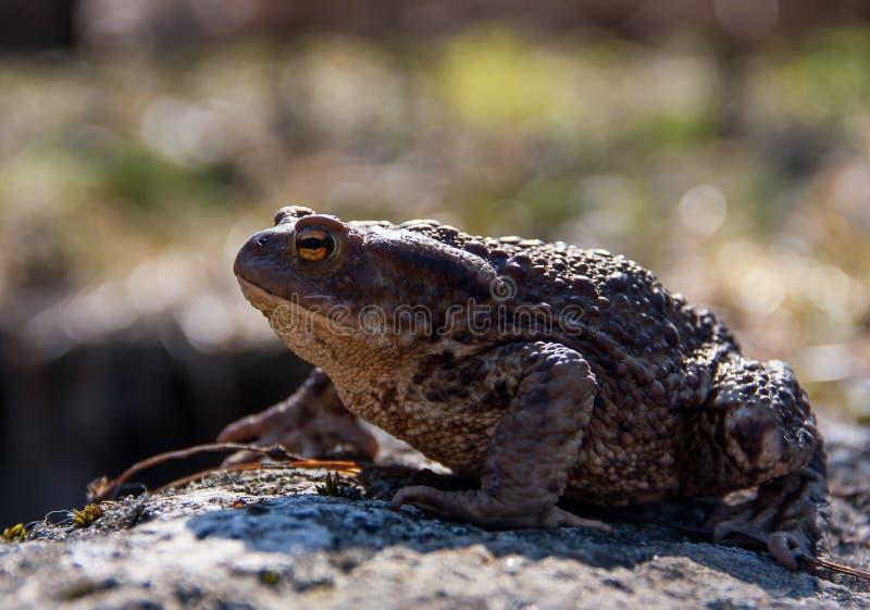 蟾蜍坐石头 免版税图库摄影