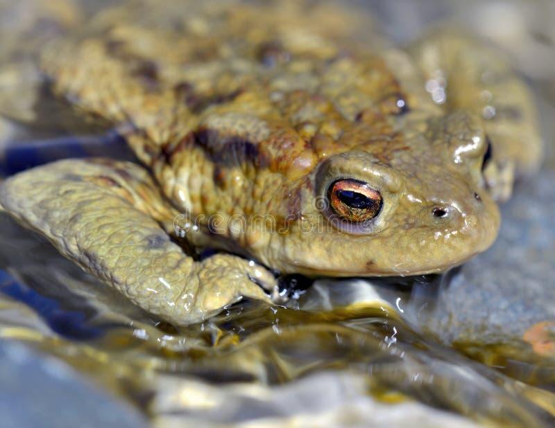 蟾蜍的眼睛 免版税库存图片