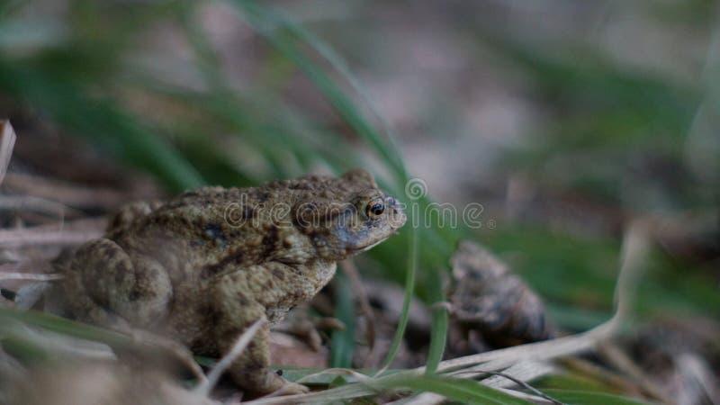 蟾蜍,坐在草的青蛙 免版税库存照片