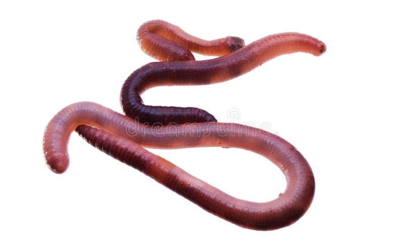 蠕虫 免版税库存图片