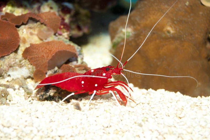 血液或火虾 库存图片