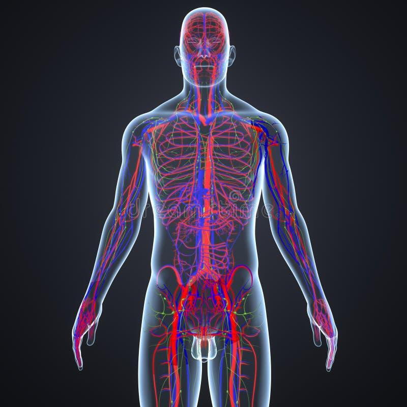 血管和淋巴结与身体 向量例证