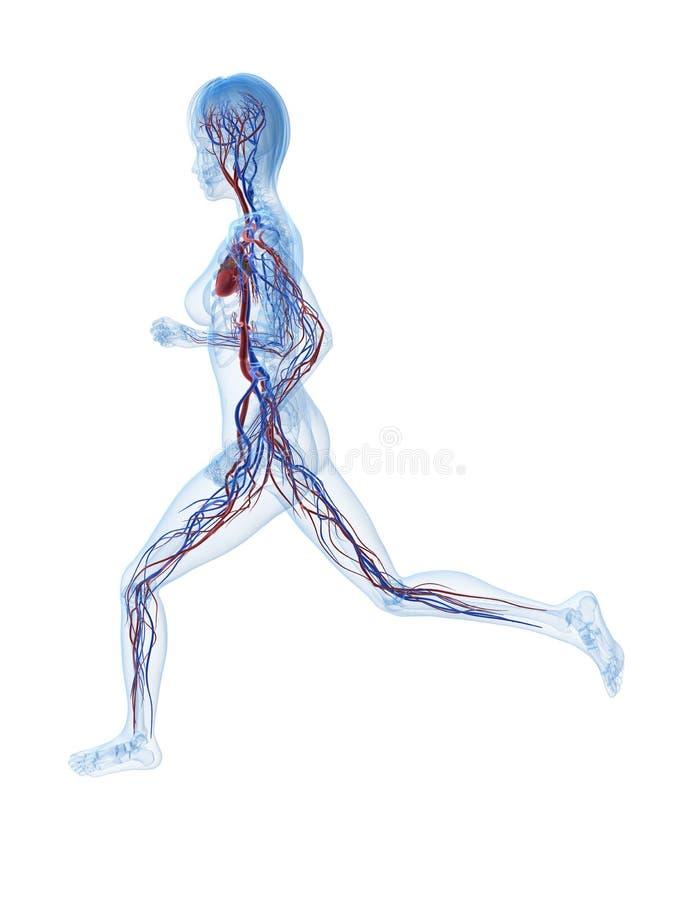 血管母的慢跑者 皇族释放例证