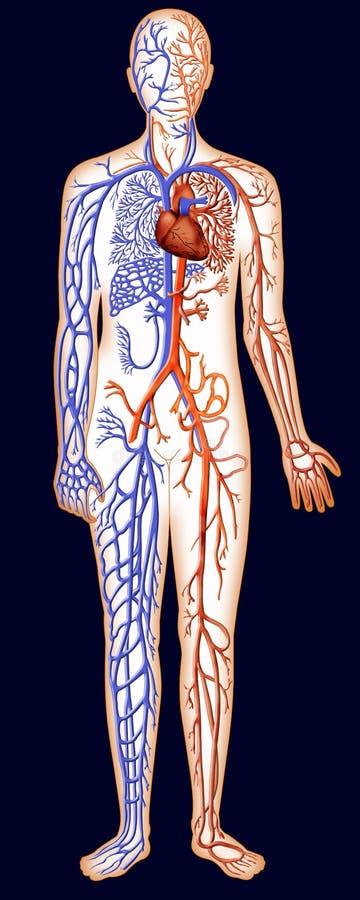 血管的人力资源系统 皇族释放例证