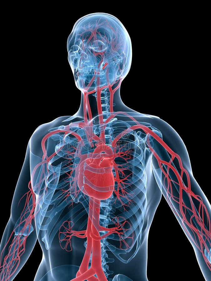 血管的系统 向量例证