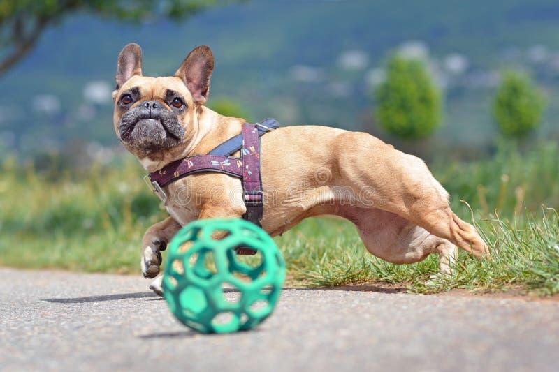 行动跳跃在玩具球以后的射击了一条棕色法国牛头犬狗 库存照片