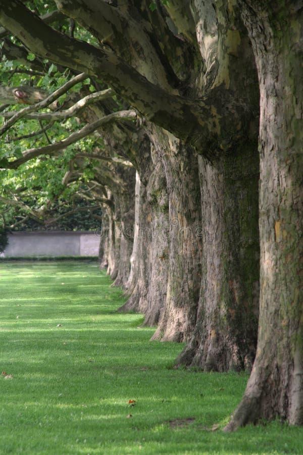 行美国梧桐结构树 免版税库存照片