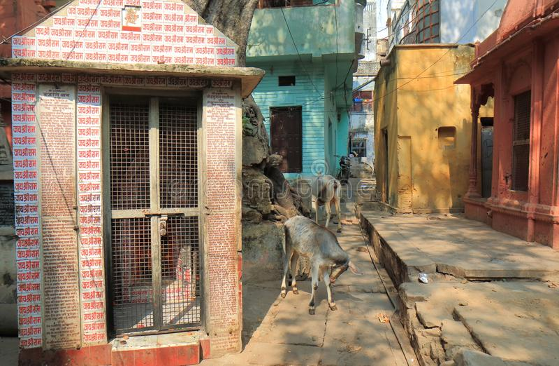 街道山羊瓦腊纳西印度 库存照片