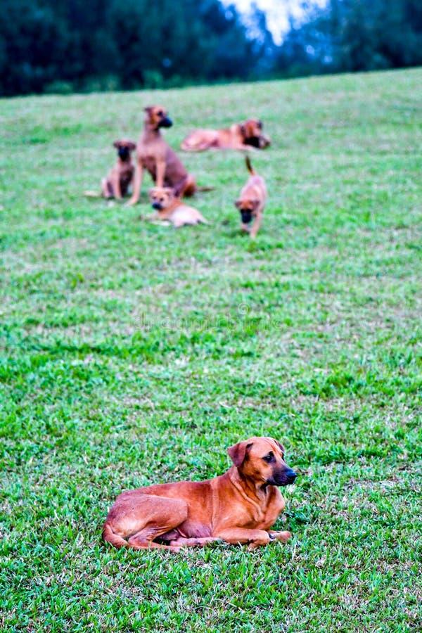 街道狗也许是流浪狗 库存照片