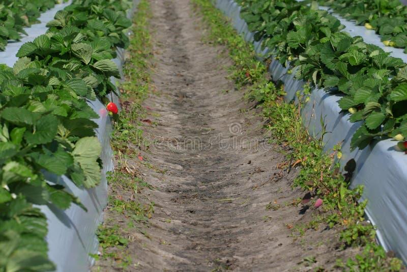 补丁程序草莓 免版税库存照片
