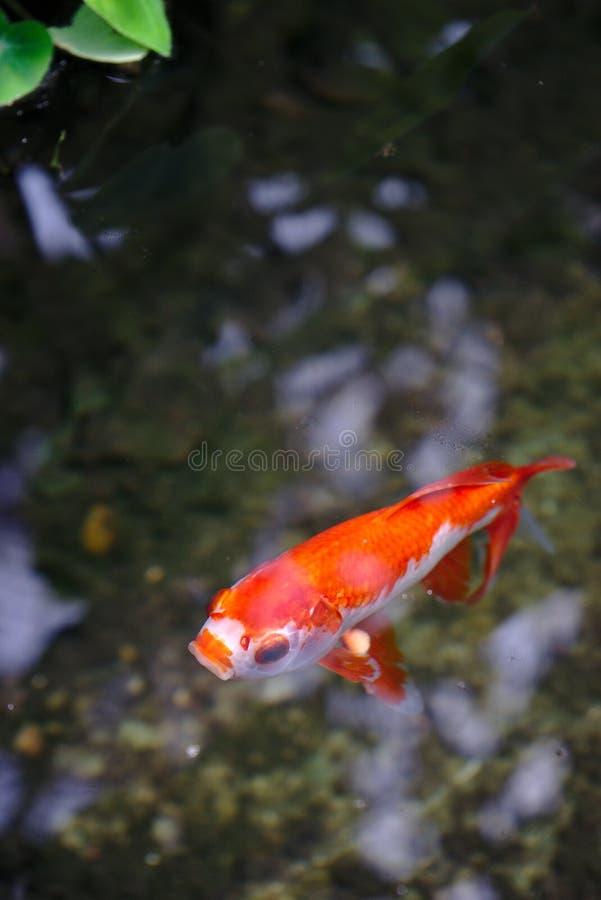 表面上的金鱼在金子头的公园在利昂 免版税库存图片