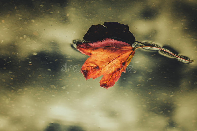 水表面上的死的叶子 免版税库存图片