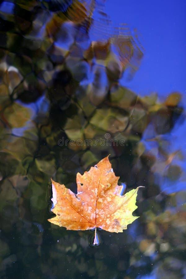 水表面上的死的叶子 库存图片