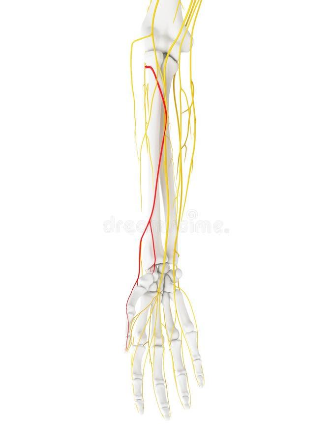 表面分支辐形神经 向量例证