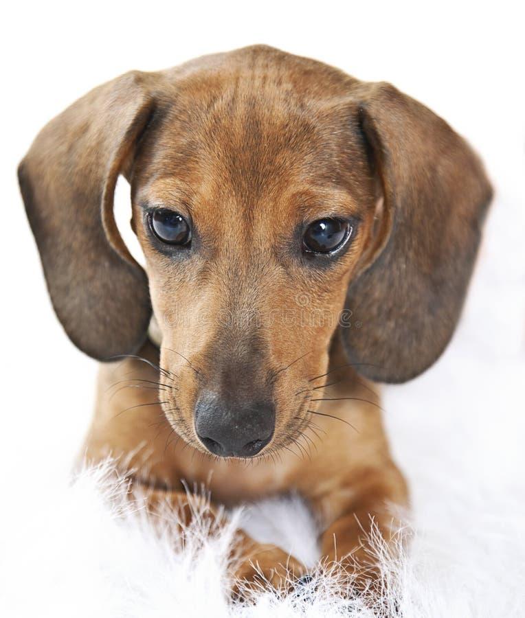 表面小狗 库存图片