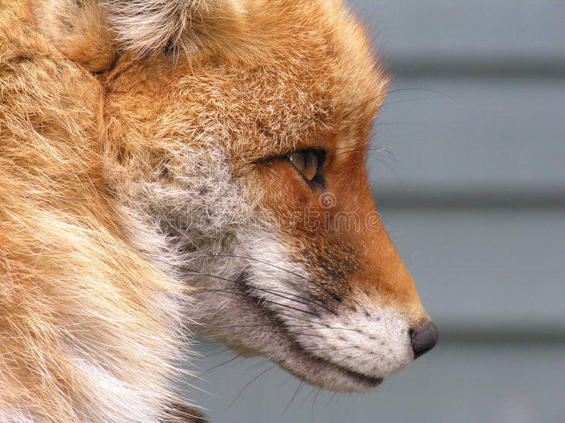 表面狐狸s 免版税库存图片