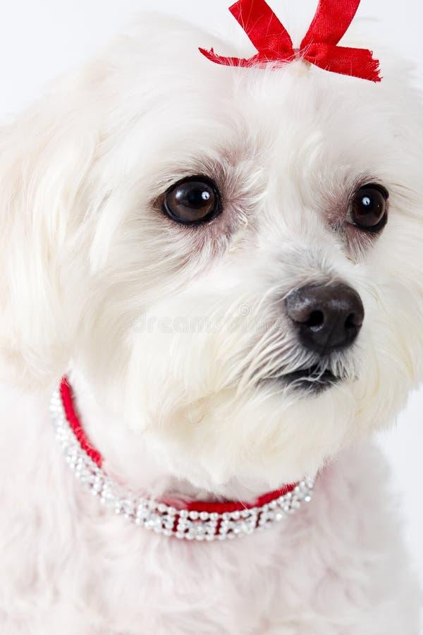 表面马尔他狗 免版税库存照片