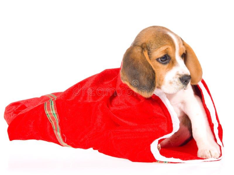 袋子小猎犬圣诞节礼品小狗红色 库存照片