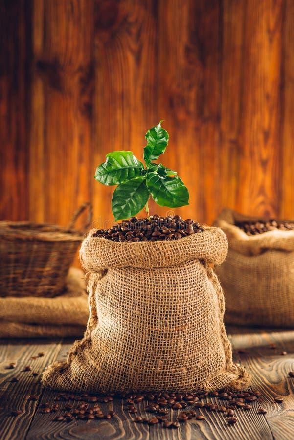 袋子烤咖啡和咖啡植物 免版税库存照片