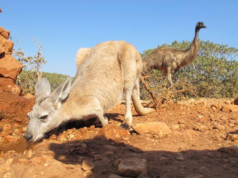 袋鼠和鸸,澳大利亚 免版税库存照片