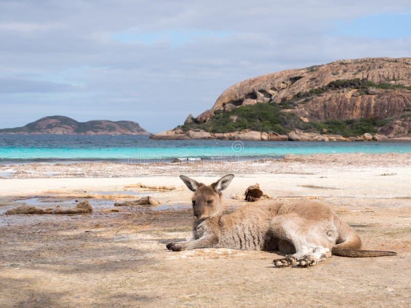 袋鼠,幸运的海湾,西澳州 免版税库存照片