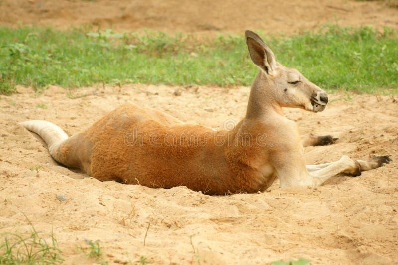 袋鼠macropus红色rufus 免版税库存照片