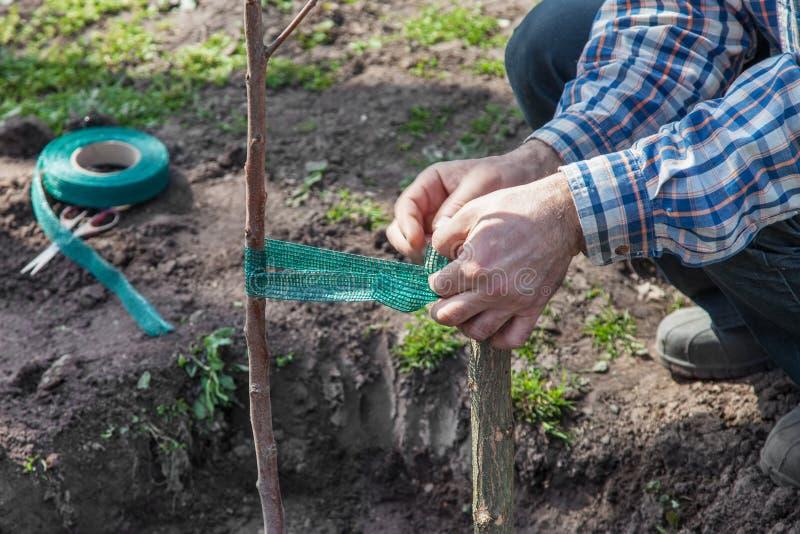 袜带支持的果树幼木 库存图片