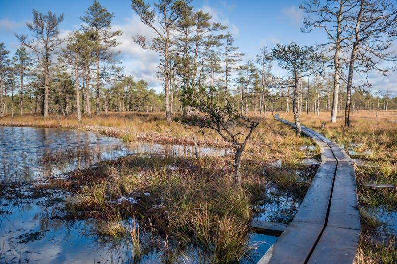 被上升的沼泽 Viru沼泽自然痕迹的木板走道 爱沙尼亚 早期的春天 免版税库存照片