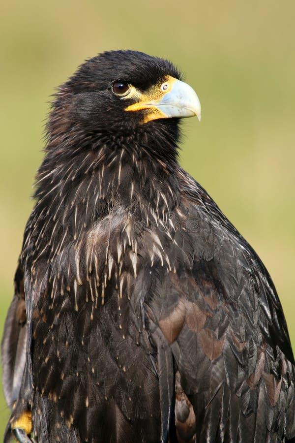 被上条纹的长腿兀鹰 免版税图库摄影