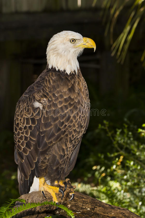 被伤害的白头鹰 库存图片