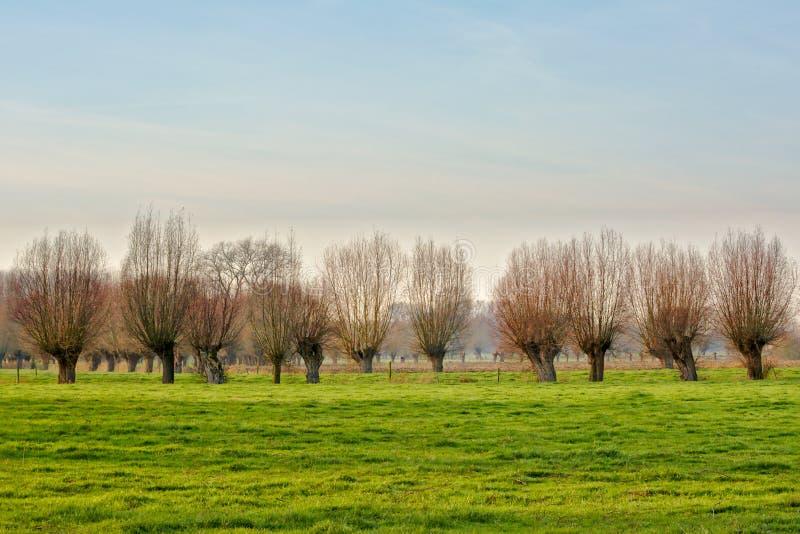 被修剪树枝的杨柳行沿草甸的 库存照片