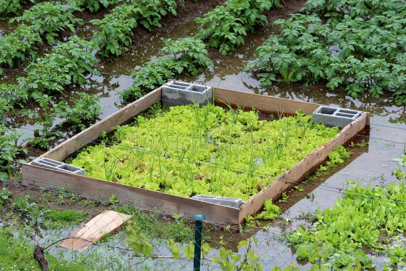 被充斥的后院都市庭院用生长在密集地被种植的莴苣之间的被种植的大葱或春天葱围拢与 库存图片