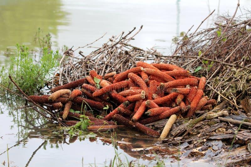 被充斥的天然肥料堆充满被削减的树枝和光秃的玉米棒子围拢与泥泞的洪水 免版税图库摄影
