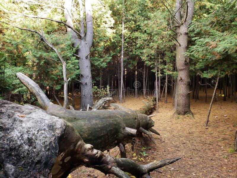 被击倒的树 免版税库存照片