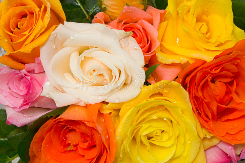 被分类的玫瑰 图库摄影