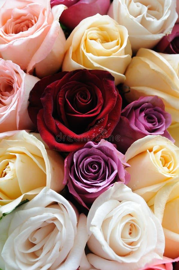 被分类的颜色玫瑰 库存图片