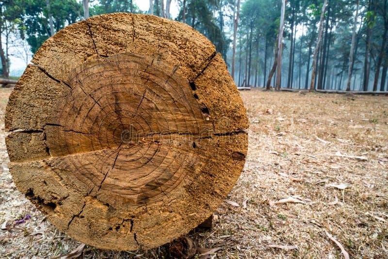 被切开的树干特写镜头与年轮细节的表面上的在松树森林1里 免版税库存图片