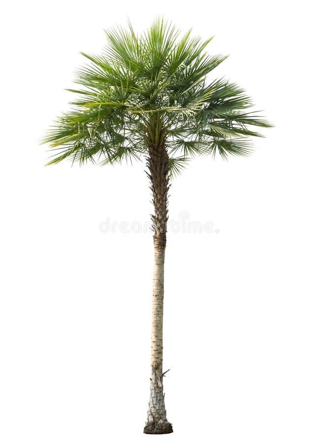 被删去被隔绝的槟榔树 免版税库存图片