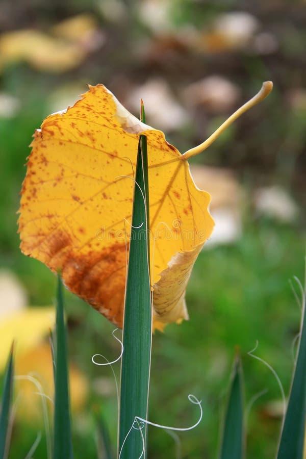 被刺穿的秋天叶子 库存图片